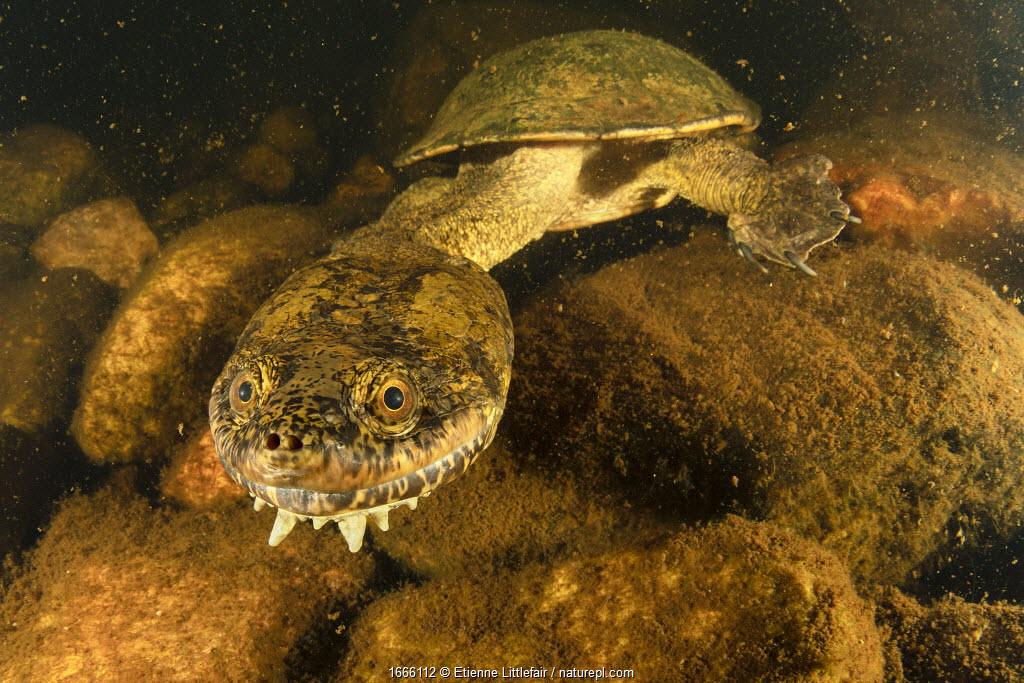 Sandstone long-necked turtle (Chelodina burrungandjii) actively foraging at night, Pentecost River, Western Australia.