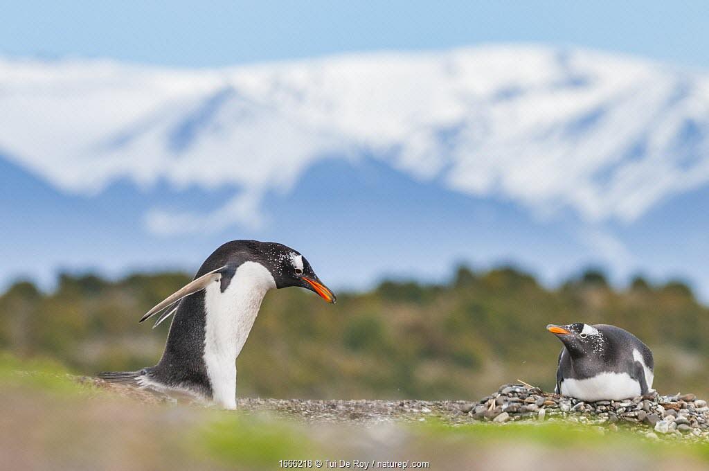 Gentoo penguin (Pygoscelis papua), gathering nesting pebbles, Beagle Channel, Patagonia, Argentina