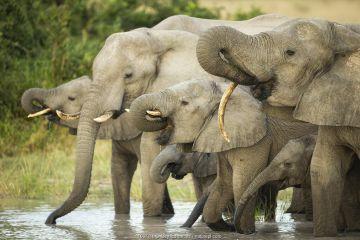 African elephant (Loxodonta africana) herd drinking from waterhole. Savuti, Chobe National Park, Botswana.