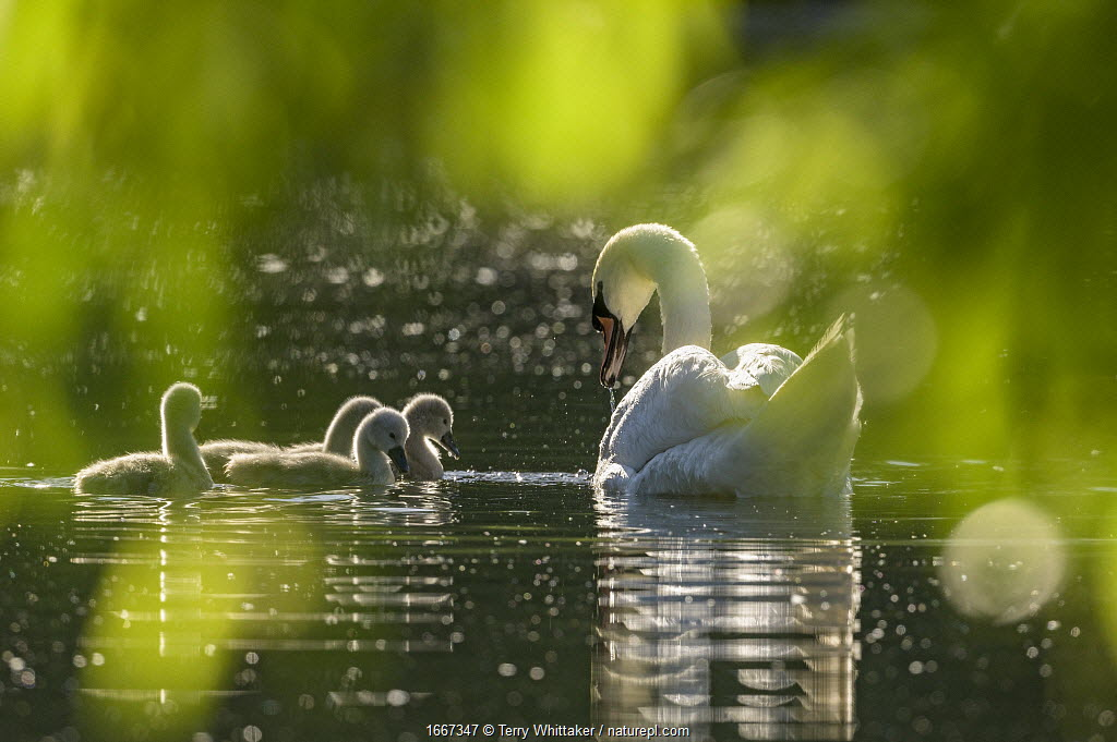 Mute swan (Cygnus olor) with cygnets on water. Reddish Vale Country Park, Greater Manchester, England, UK. May.
