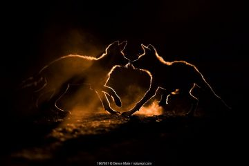 Wild dog (Lycaon pictus) two pups playing in dust, Mkuze, South Africa. August.