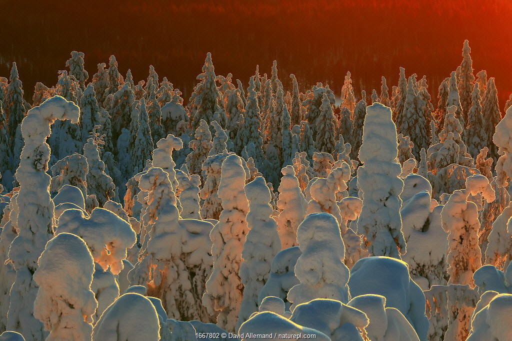 Snow-covered taiga forest in Finland. Honoured in the MontPhoto awards 2020.