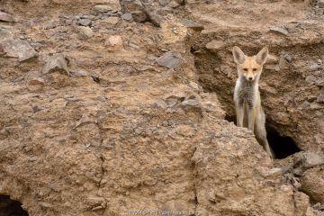 Red fox (Vulpes vulpes), peeking from a hole in rocks, Negev desert, Israel, May.
