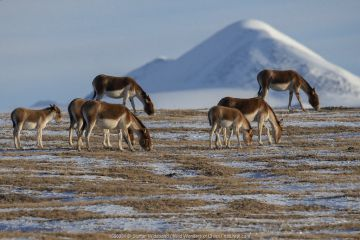 Kiang or Tibetan Wild ass (Equus kiang) Keke Xili / Hoh Xil Nature Reserve, Tibetan High plateau, Qinghai, China