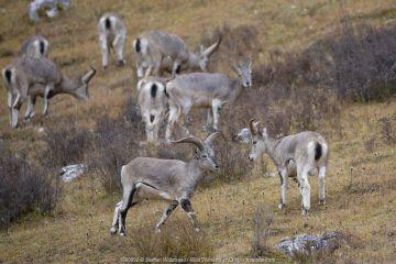 Blue sheep (Ovis nahoor) Angsai Nature Reserve (Valley of the Cats), Sanjiangyuan National Nature Reserve, Tibetan Plateau, Qinghai, China