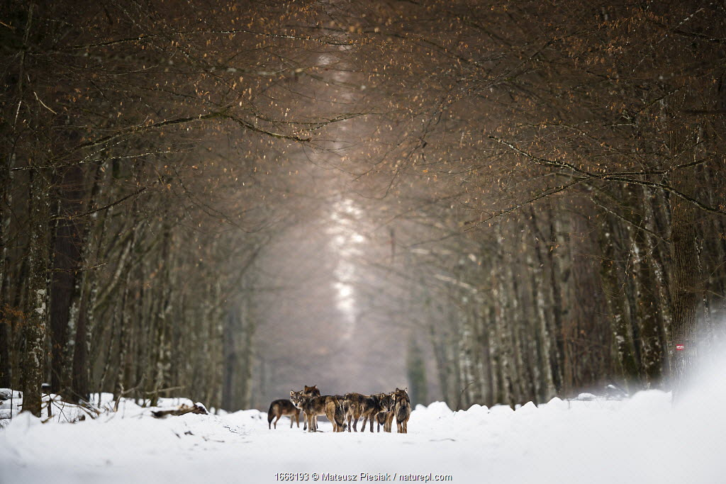 Eurasian wolf (Canis lupus lupus) pack in snow, forest in Bialowieza National Park. Poland. January 2019.