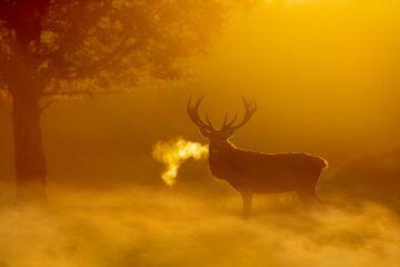 Red deer (Cervus elaphus) backlit at dawn with visible breath. UK. October.
