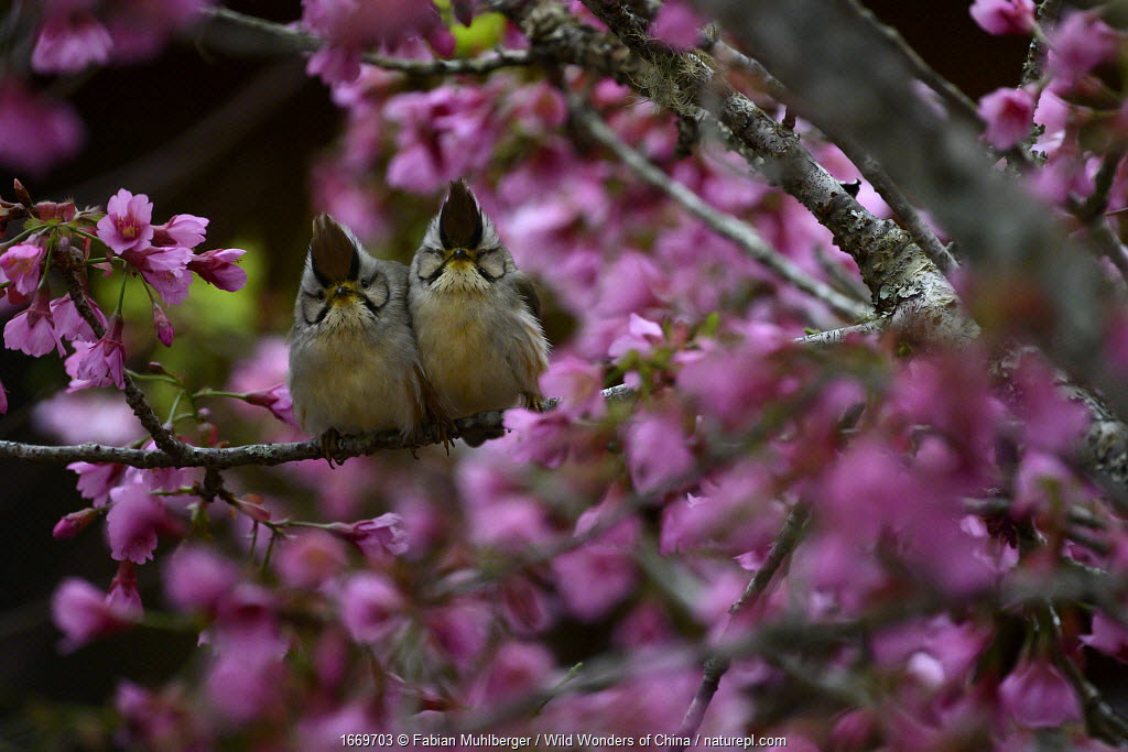 Taiwan yuhinas (Yuhina brunneiceps) two perched among flowers, Taiwan. Endemic.