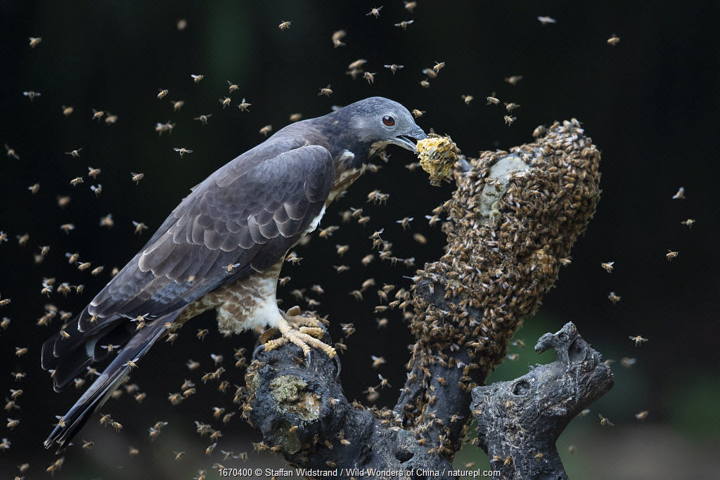 Oriental / Crested honey buzzard (Pernis ptilorhynchus) feeding on honeycomb surrounded by bees, Chayi, Taiwan