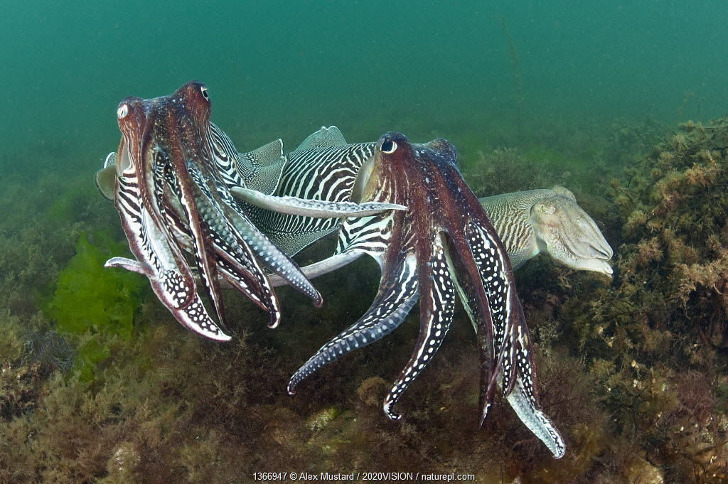 Two male Common cuttlefish (Sepia officinalis) compete for a female (on right) during courtship, Torbay, Devon, UK, May. 2020VISION Exhibition. 2020VISION Book Plate. Did you know? Cuttlefish have an outstanding ability to change their appearance, in colour and even the texture of their skin.