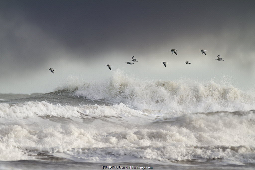 Curlews (Numenius arquata) group flying over the sea during storm. Wales, UK December. Highly commended, 'Habitat' division, British Wildlife Photography Awards (BWPA) competition 2012.