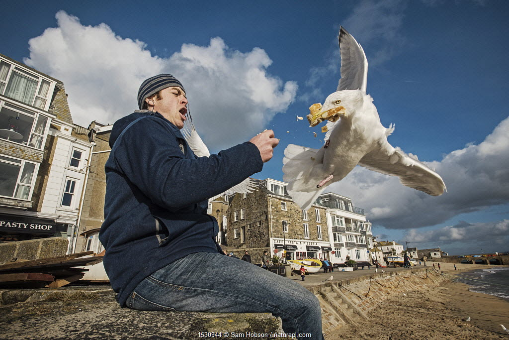 Herring gull (Larus argentatus) snatching food from man's hand. St Ives, Cornwall, UK. February