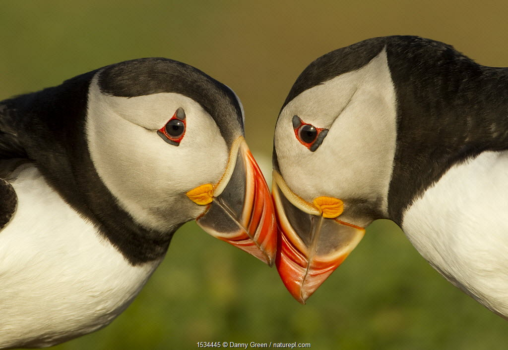 Atlantic Puffins (Fratercula arctica) pair bill rubbing, part of ritual courtship, Skomer Island, Wales, UK, May