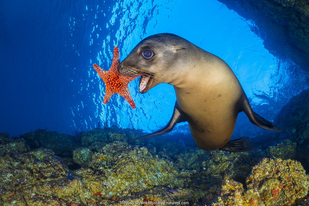 California sea lion playing with a Panamic cushion star. The sealions pick up the starfish and then drop them and chase after them as they sink. Los Islotes, La Paz, Baja California Sur, Mexico. Sea of Cortez, Gulf of California, East Pacific Ocean.