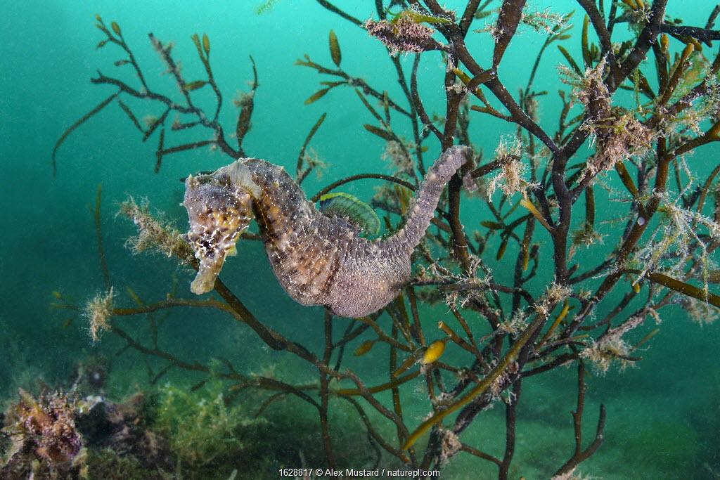 """People are often surprised we have wild seahorses in Britain, in fact we have two species, but they are rarely spotted. Short snouted seahorses, like this one, favour shallow, sheltered waters, and have even been found in the Thames, 5 miles from central London! Seahorses are fish, but aren't strong swimmers, preferring to cling to seagrass or seaweed by curling their prehensile tails. Not only do seahorses give birth to full formed babies, it is the male that does so. Female seahorses lay unfertilised eggs into the male's pouch, where he fertilises them, providing them with both nourishment and a perfect environment to grow. I've not seen a seahorse in British Seas for 10 years, but I always feel better about our seas knowing they are out there."" Photographed under licence to Dr Alexander Mustard from the Marine Management Organisation (MMO-0004/SciCon)."