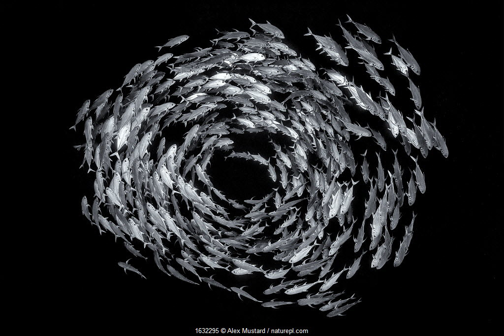 Bigeye trevally form a circular shoal in open water, on the drop off of a coral reef. Highly commended in the Black and White Category of the Wildlife Photographer of the Year Awards 2019.