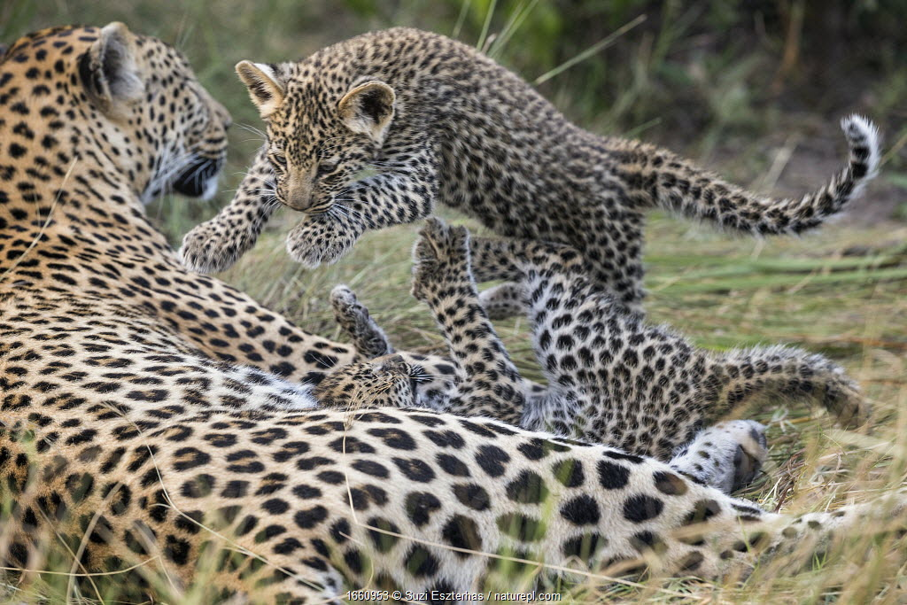 Leopard (Panthera pardus) cubs age six weeks, playing, Jao Reserve, Okavango, Botswana