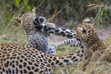 Leopard (Panthera pardus) cub age six weeks, playing with mother's tail, Jao Reserve, Okavango, Botswana