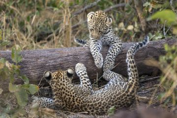 Leopard (Panthera pardus) cubs age four months playing, Jao Reserve, Okavango, Botswana