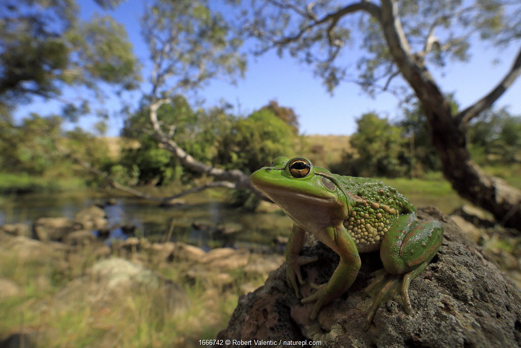 Growling grass frog (Litoria raniformis) basking on rock beside Merri Creek. Melbourne, Australia. 2017. Controlled conditions.