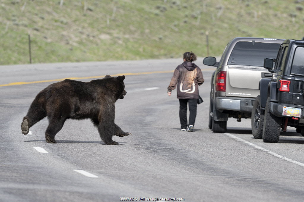 Grizzly bear (Ursus arctos horribilis) boar / male chasing female bear on the other side of the road, with tourist returning to her car. Togwotee Pass in the Bridger-Teton National Forest, Wyoming, USA. May.
