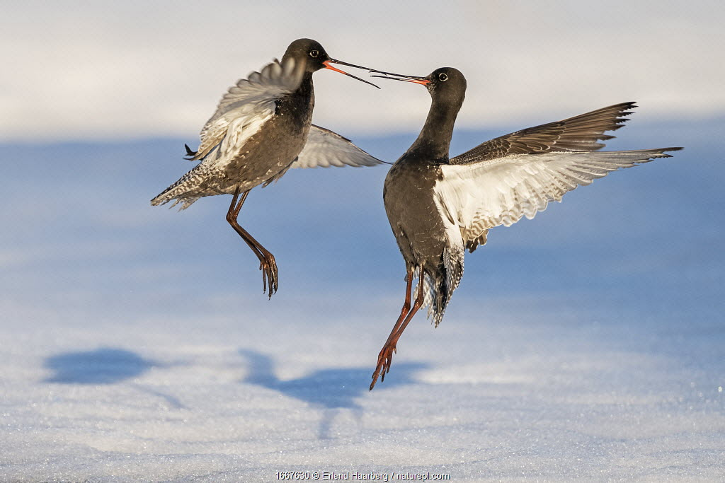 Spotted redshank (Tringa erythropus), two males fighting in snow. Pasvik, Norway, May.