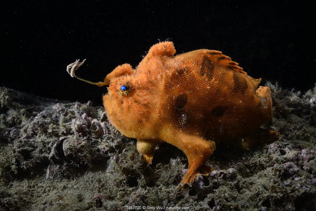Hairy frogfish (Antennarius striatus) male with esca / lure extended on illicium / rod to entice prey. Skeleton shrimp (Caprellidae) parasites on fish's body. Ariake Sea, Japan.
