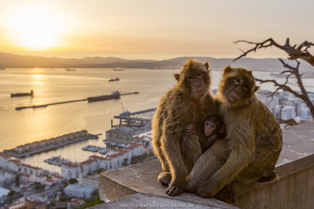 Barbary macaque (Macaca sylvanus), two adults with baby, overlooking town and ships in sea at sunset. Gibraltar Nature Reserve, Gibraltar. August 2018.