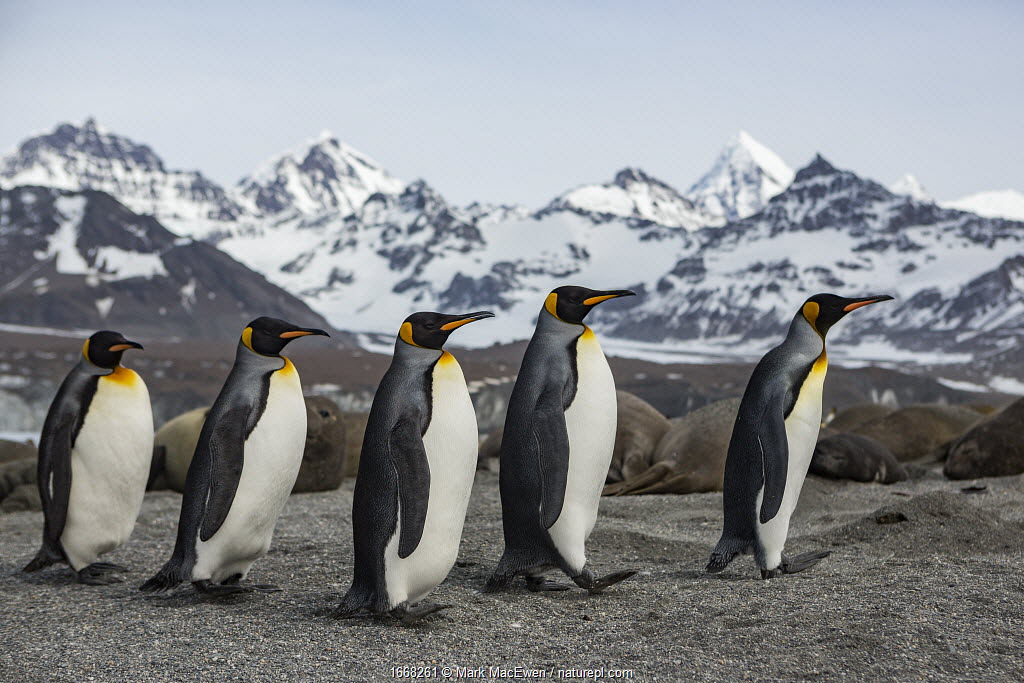 King penguin (Aptenodytes patagonicus) group walking past Southern elephant seal (Mirounga leonina) colony, mountains in background. St Andrews Bay, South Georgia. October 2017.