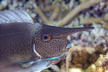 Pletail unicornfish (Naso brevirostris) juvenile, its horn will continue to grow as it gets older. Fiji Pacific Ocean.