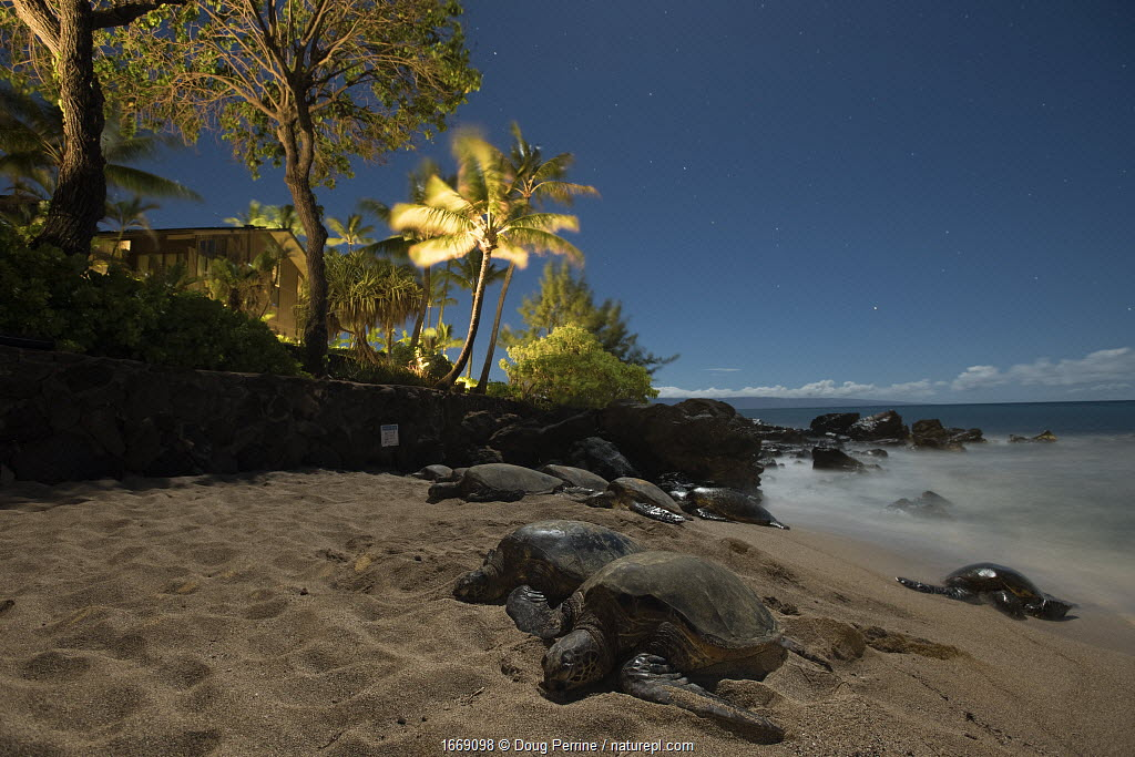 Green sea turtles (Chelonia mydas) sleeping at night illuminated by moonlight, on sand beach next to condominium complex, Kahana, West Maui, Hawaii.