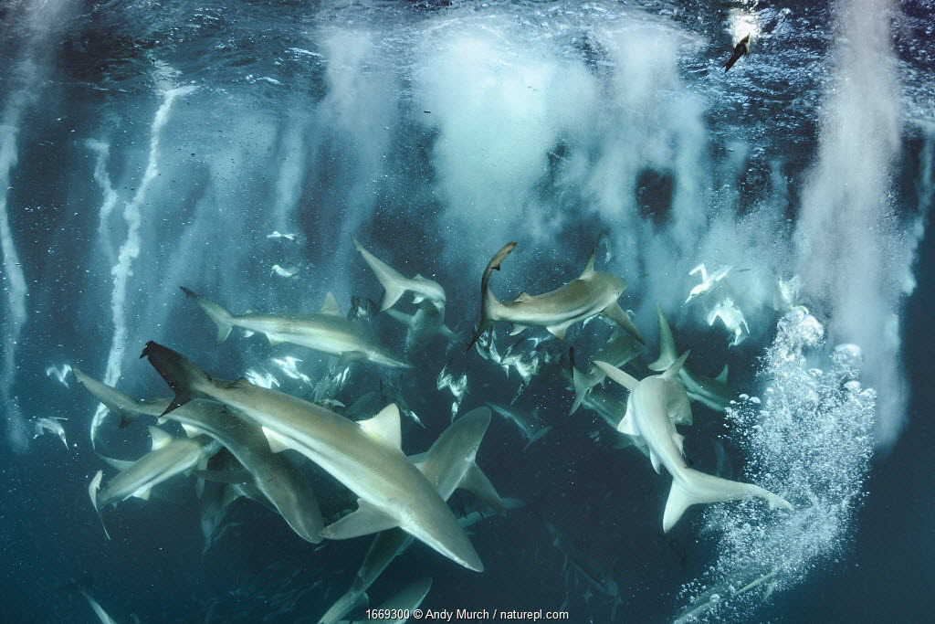 Bronze whaler shark (Carcharhinus brachyurus) group feeding alongside Cape gannet (Morus capensis) during sardine run. Wild Coast, Eastern Cape, South Africa. June.