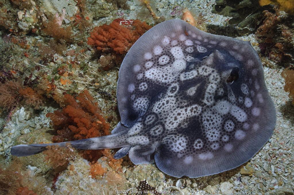 Circular stingaree (Urolophus circularis) above sea floor. Albany, Western Australia. October.