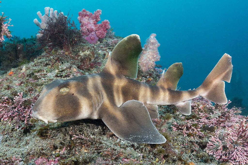 Japanese bullhead shark (Heterodontus japonicus) on reef. Chiba Prefecture, Honshu, Japan. May.