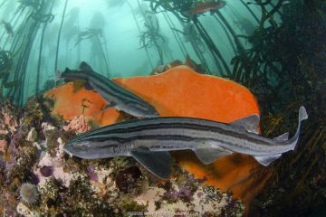 Pyjama shark (Poroderma africanum), two in reef, amongst kelp. Simon's Town, Western Cape, South Africa. May.