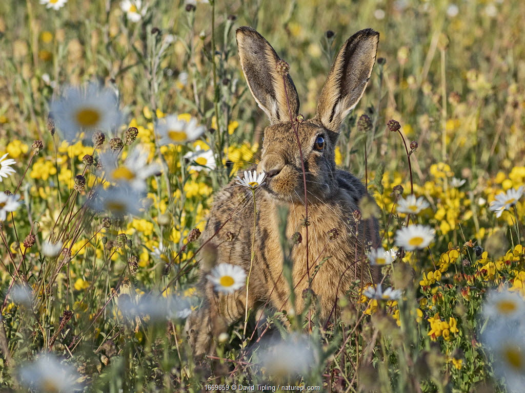 Brown hare, (Lepus europaeus) in meadow of Oxeye Daisies, North Norfolk, June