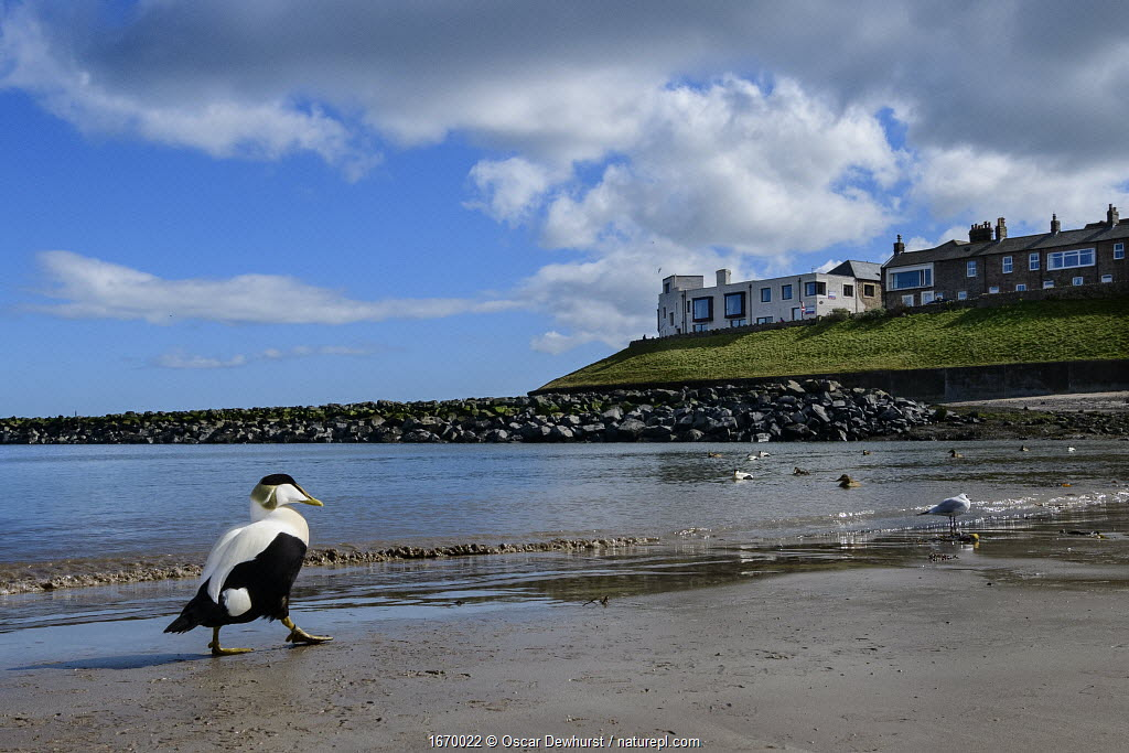 Eider (Somateria mollissima) male walking on the shoreline with Seahouses in the background. Northumberland, UK. March.