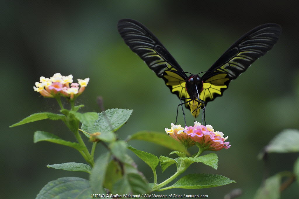 Golden Birdwing butterfly (Troides aeacus) Sheding Forest park, Kenting National Park, Taiwan