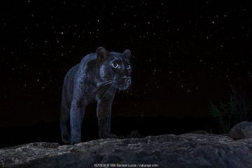 Male melanistic leopard (Panthera pardus) at night, under a starry sky. Laikipia Wilderness Camp, Kenya. Photographed with a camera trap. EDITORIAL USE ONLY. All other uses require clearance.