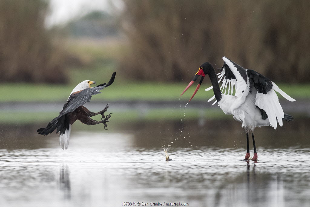 African fish eagle (Haliaeetus vocifer) pressurises a Saddle-billed stork (Ephippiorhynchus senegalensis) into dropping a freshly caught fish, so that it can be stolen for a meal. Liuwa Plain National Park, Zambia.