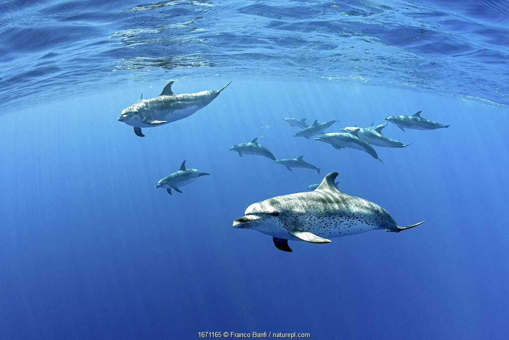 Atlantic spotted dolphins, (Stenella frontalis), Formigas Islet dive site, Santa Maria Island, Azores, Portugal, Atlantic Ocean