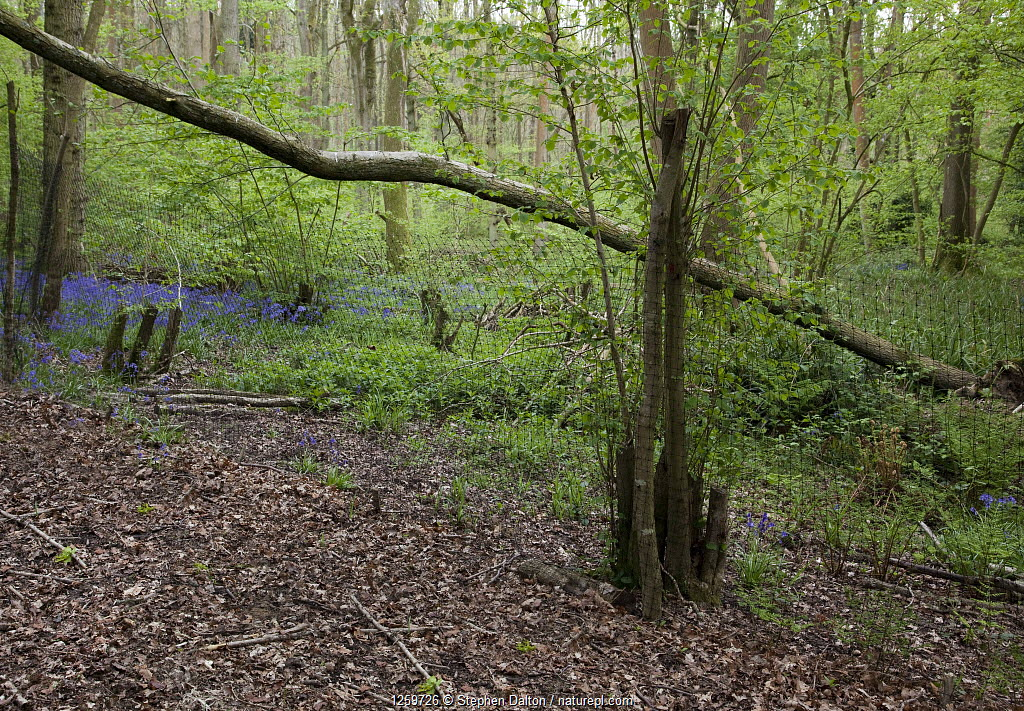 Mixed woodland showing both sides of anti-deer netting. The green far side has been protected for 3 years, while ground flora and fauna is extremely sparse in the unprotected region in the foreground. Sussex, UK