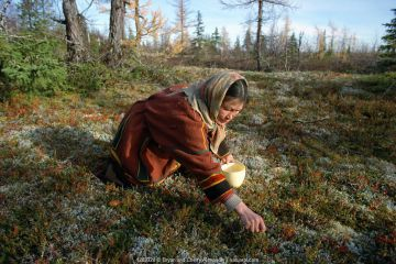 Nenets woman picking Mountain cranberries / Cowberries (Vaccinium vitis-idea) in Autumn. Yamal, Western Siberia, Russia, 2001