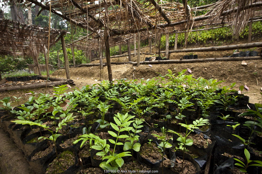 Tree nursery of endemic species, part of a forest restoration and carbon sequestration scheme that provides a sustainable livelihood for the local population. Tropical rainforest, Mitsinjo reserve, Andasibe-Mantadia National Park, Madagascar, October 2009