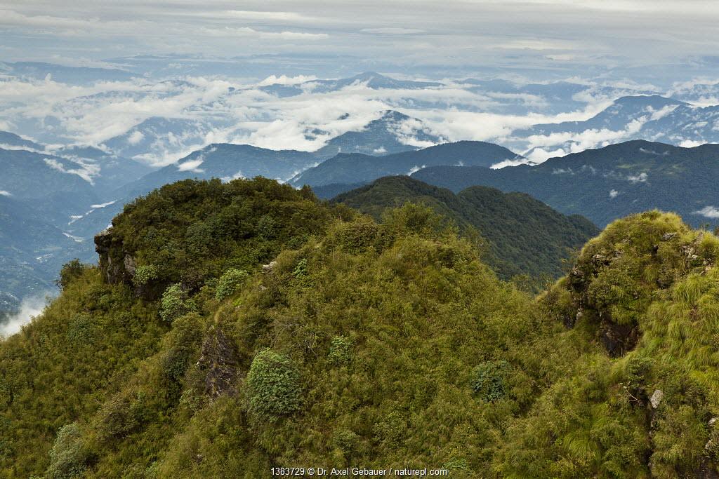 Red panda (Ailurus fulgens) habitat, Pangolakha Wildlife Sanctuary, Sikkim, India