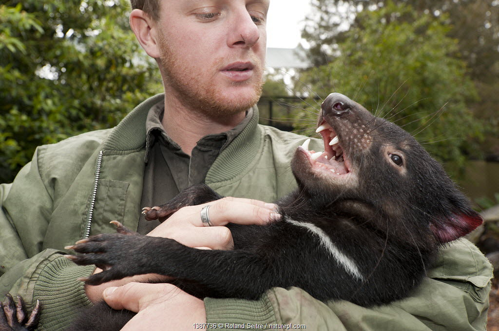 Tasmanian Devil (Sarcophilus harrisii) playing with its handler. Captive. Gosford, New South Wales, Australia.