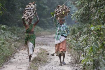 Local people collecting firewood in Gibbon wildlife sanctuary, Assam, India. February 2014.