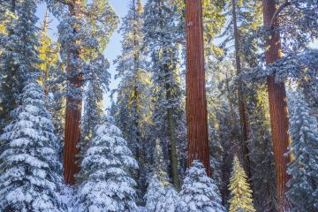 First rays of golden sunshine hit Giant Sequoias (Sequoiadendron giganteum) covered in a winter blanket of snow and frost, Grant Grove, Sequoia / Kings Canyon National Park, California, USA November