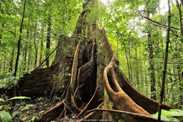 Tropical rainforest tree with large buttress roots, French Guiana