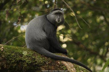 Stuhlmann's blue monkey (Cercopithecus mitis stuhlmanni) Kakamega forest, Kenya.
